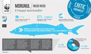 Sturgeons Infograph 05 RO 2 01 300x180 - Morunul