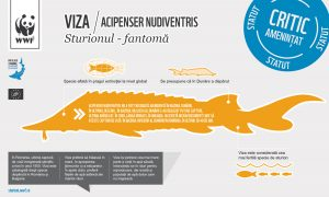 Sturgeons Infograph 05 RO 2 05 300x180 - Viza