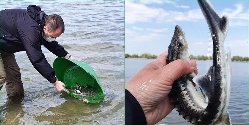300 de pui de nisetru au fost eliberați în Dunăre