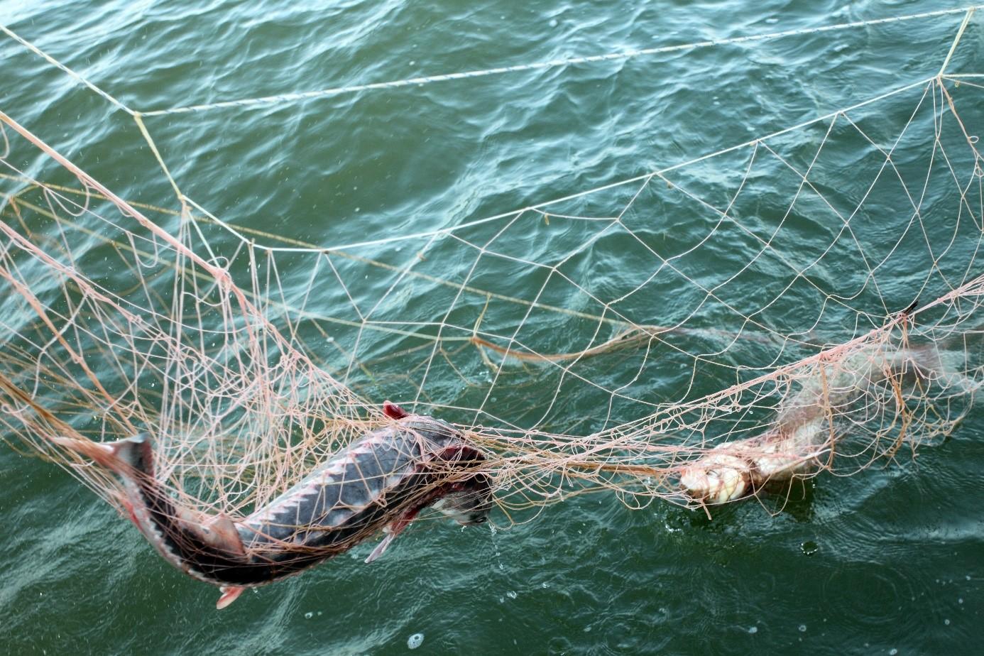 2 - Continuarea prohibiției pentru pescuitul sturionilor, pe masa autorităților